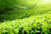 Tea plantation Cameron highlands, Malaysia (shallow DOF) — Stock Photo