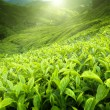 Tea plantation Cameron highlands, Malaysia — Foto Stock
