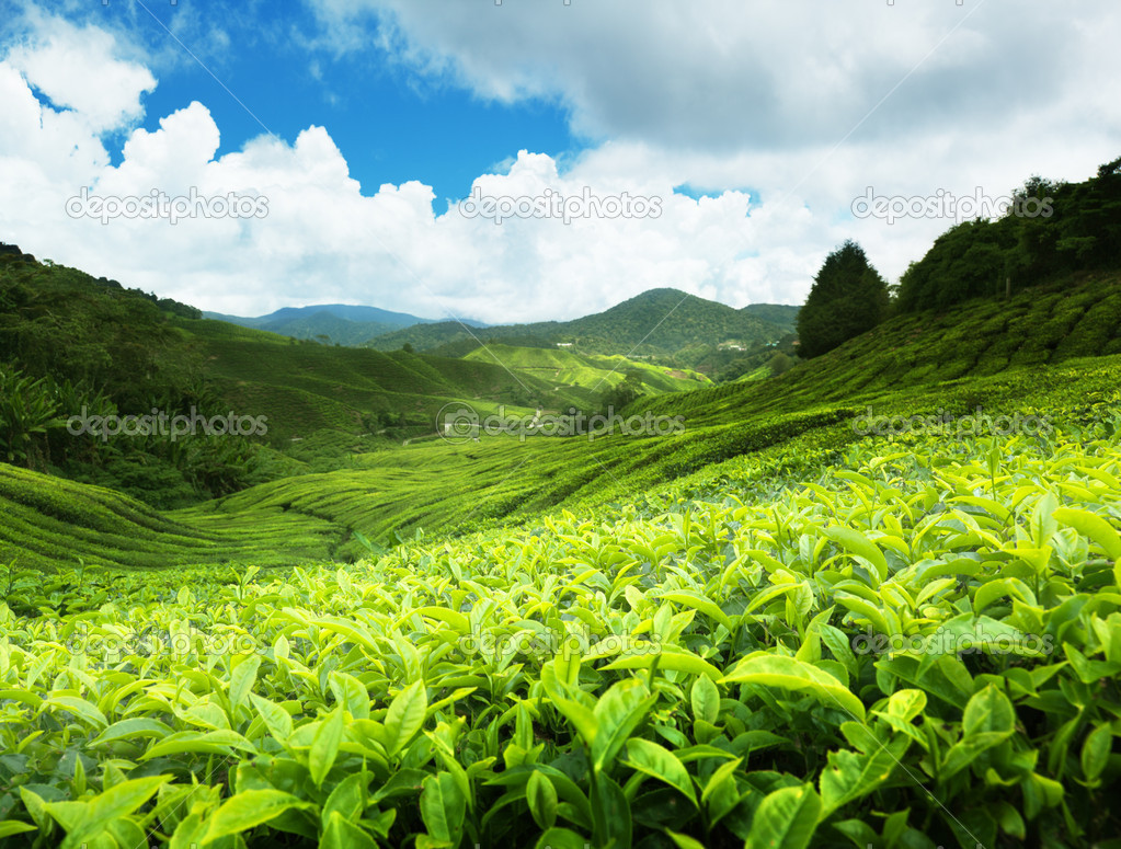 Tea plantation Cameron highlands, Malaysia  Lizenzfreies Foto #5981194