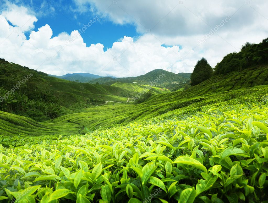 Tea plantation Cameron highlands, Malaysia  Stockfoto #5981194