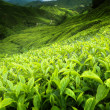 thee plantage cameron highlands, Maleisië — Stockfoto #6091085