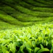 Teplantation Cameron highlands, Malaysia — Stock Photo #6143133