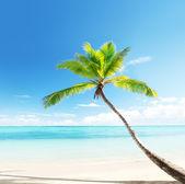 Palm on Caribbean beach — Stock Photo