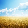 Field of barley and sunny day — Stock Photo #6583741