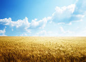 Field of barley and sunny day — Photo