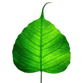 Green leaf vein ( bodhi leaf ) — Stock Photo