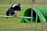 Border collie agility dog — Stock Photo