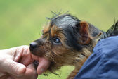 Yorkie puppy — Stock Photo