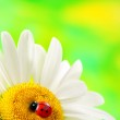 Ladybird on daisy closeup. — Stock Photo