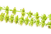 Dried basil — Stock Photo