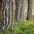Stock Photo: Tree Trunks