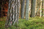Tree Trunks — Stock Photo