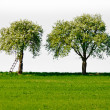 Two Apple Trees — Stock Photo