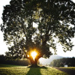 Sunset through a mighty Tree — Stock Photo
