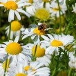 Bee on Daisy — Stockfoto