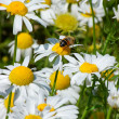 Bee on Daisy — Stock fotografie