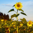 Biggest Sunflower — Stock Photo