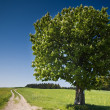 Summer Tree — Stock Photo