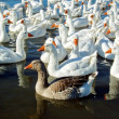 Group of swimming white geese — Stock fotografie
