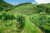 Vinery in Austria — Stock Photo