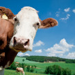 Stock Photo: Cow looking at Camera