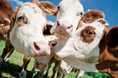 Cow Faces — Stock Photo