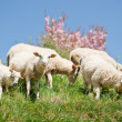 Sheep Herd — Foto Stock