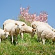Sheep Herd - Stock Photo