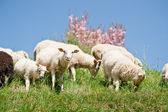 Stado owiec — Zdjęcie stockowe