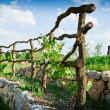 Grapevine Trellis on terrace — Stock Photo