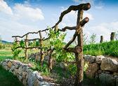 Grapevine Trellis on terrace — Stock Photo