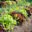 Growing Salad — Foto Stock