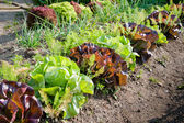 Growing Salad — Stockfoto