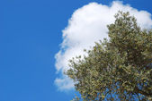 Olive tree over blue sky and white cloud — Stock Photo