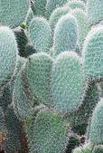 Opuntia leucotricha — Foto Stock