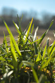 Groen gras — Stockfoto