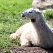 Lama enjoy's the sun — Stock Photo