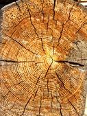 Woodcut of old weathered pine tree — Stock Photo
