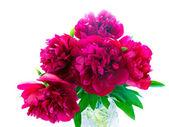 Pion blommor — Stockfoto