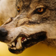 Snarl of wolf - Stock Photo
