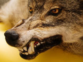 Snarl of wolf — Stock Photo