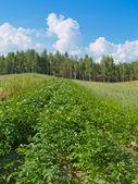 Flowering potato field — Stock Photo
