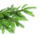 Fresh green fir tree branch — Stock Photo