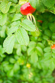 Dog rose hip and leaves — Stock Photo