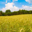 Harvesting field of rye - Stock Photo