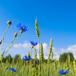 Stok fotoğraf: Field of wheat and cornflowers