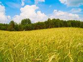 Harvesting field of rye — Stock Photo