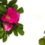 野玫瑰帧 — 图库照片 #6379150