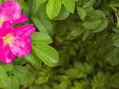 Wild roses frame — Stock Photo