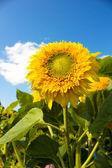Zonnebloemen hoofden — Stockfoto